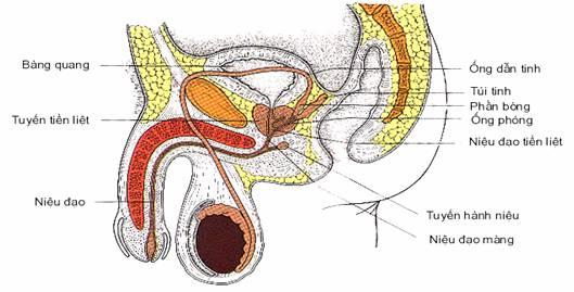 Phương pháp chữa trị bệnh viêm niệu đạo 1